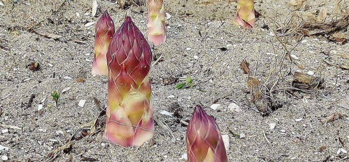Asparges: En hyldest til verdens mest sexede grøntsag